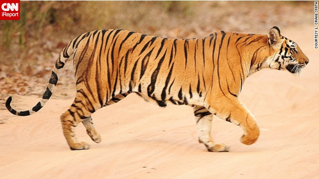 Using a telephoto lens allows you to capture close-up images of animals that could be dangerous to approach, like tigers.