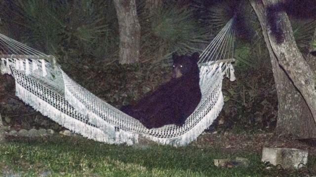 dnt bear in a hammock_00003011.jpg