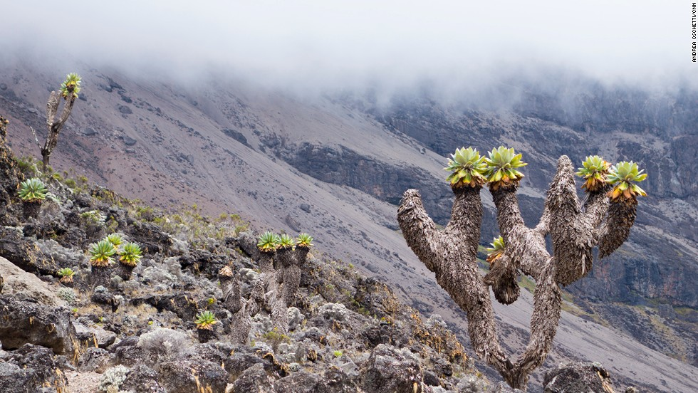 At Kilimanjaro, climbers venture through five ecosystems in the space of few kilometers. In the moorland at 3,500 meters the slopes are covered with tussock grass and giant lobelias.