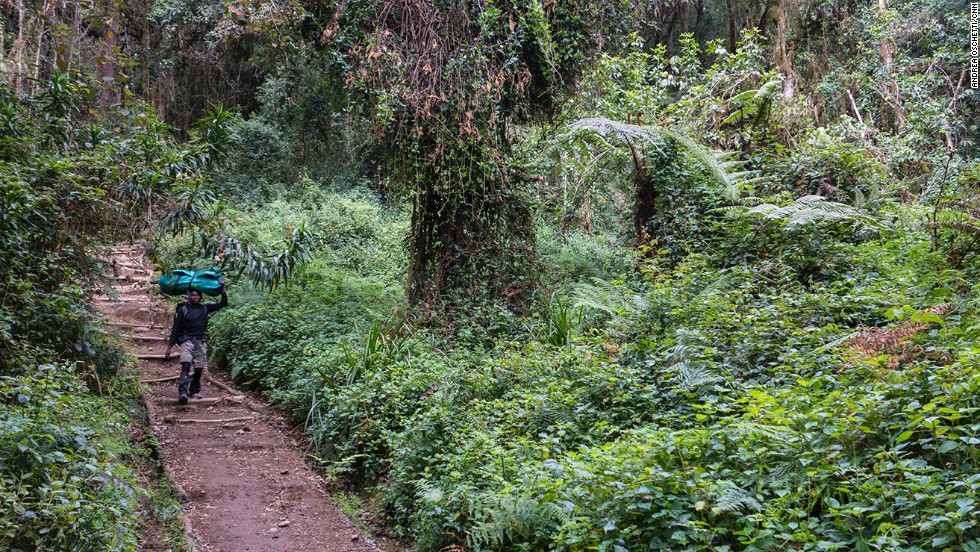 On the first day of the climb hikers walk trough the forest belt. With its large, hearth-shaped leaves, the tall macaranga tree offers protection from the sun. Fig trees, junipers, nuxias and yellow-woods can be seen alongside orchids, violets, begonias and red balsam.