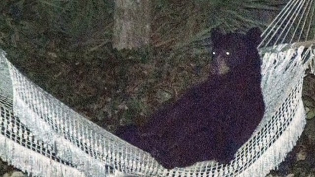 ac ridiculist bear in hammock _00002722.jpg