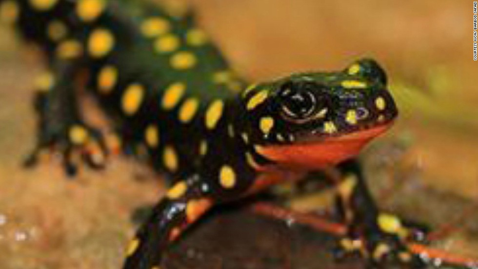 Thought to be found in only four streams in the mountains around the Iran-Iraq-Turkey border, this colorful amphibian has only been recorded in Iran. While a protected species in Iran the IUCN believe better enforcement is needed. Drought and the pet trade have been blamed as causes of declining numbers.