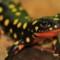 endangered species middle east kurdistan newt
