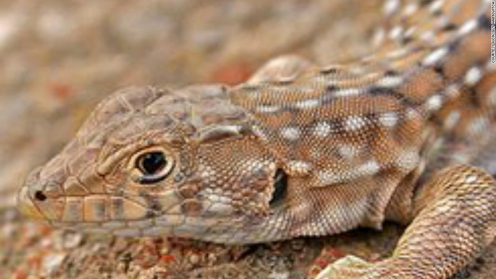 Native to the region of south-central Israel, habitat loss (from agriculture and urbanization) has been the main reason for this small lizard's decline in the wild. The species was once common but is now protected by Israeli law.