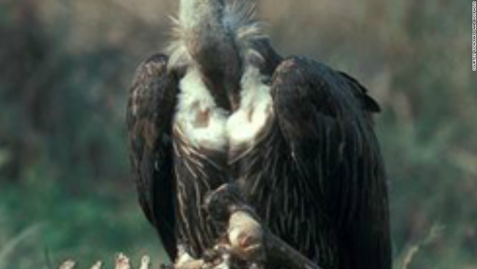 While native to parts of the Middle East, south and southeast Asia, this species of vulture has experienced rapid population decline. According to the IUCN this is primarily the result of feeding on animal carcasses treated with the veterinary anti-inflammatory drug diclofenac. Efforts to replace it with another drug are ongoing in many countries.