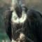 endangered species middle east vulture