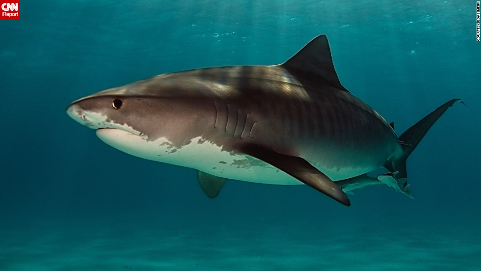 "Experienced diver <a href=""http://ireport.cnn.com/docs/DOC-1140657"">Boaz Meiri</a> wishes more people would give sharks a break. ""Sharks are not what they remember from the movie 'Jaws,'"" he said. Meiri photographed a large female tiger shark 19 feet underwater at Tiger Beach in Nassau, Bahamas."