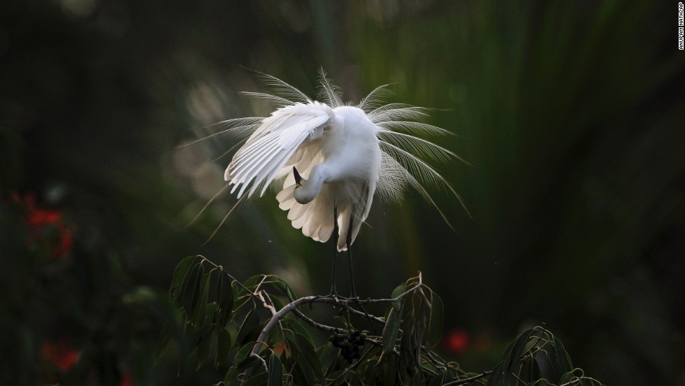 An egret preens itself Wednesday, June 4, as it stands on a branch along the Brahmaputra River in Gauhati, India.