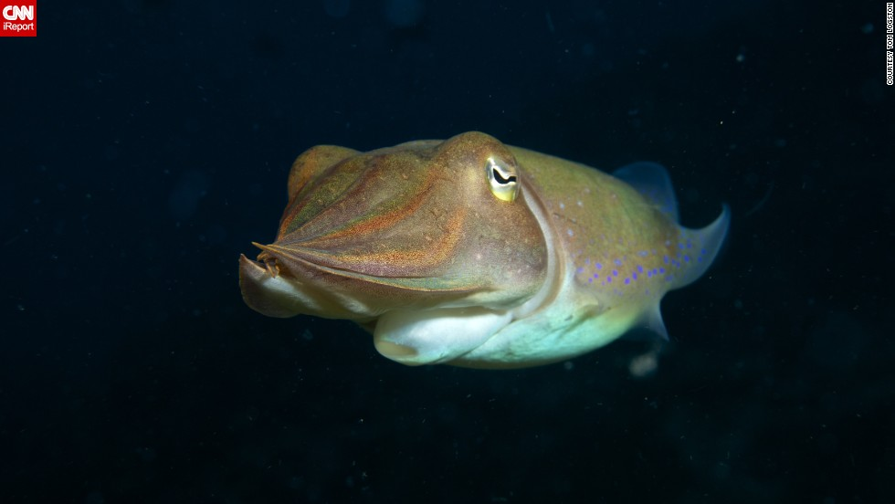 "<a href=""http://ireport.cnn.com/docs/DOC-1140746"">Tom Logston</a> said, ""Every dive is a new adventure.""  Logston photographed this cuttlefish during a dive in the Bismarck Sea off Papua New Guinea. He's been diving since the '70s and was inspired by the exploration of Jacques Cousteau."