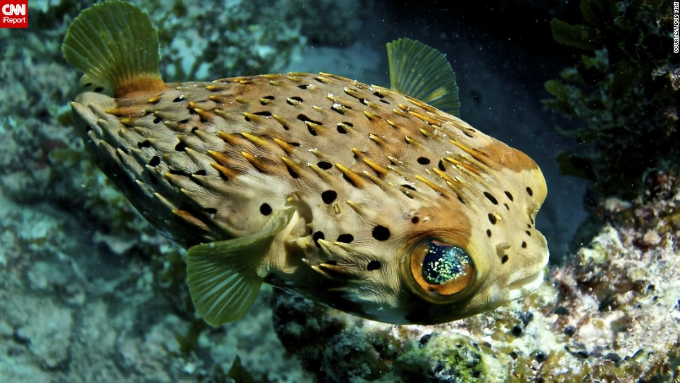 "Fish, who captured this <a href=""http://ireport.cnn.com/docs/DOC-1142461"">puffer fish</a> in Islamorada, Florida, said, ""Get a few dives under your belt. Be sure you have good (or great) buoyancy control before doing anything."""