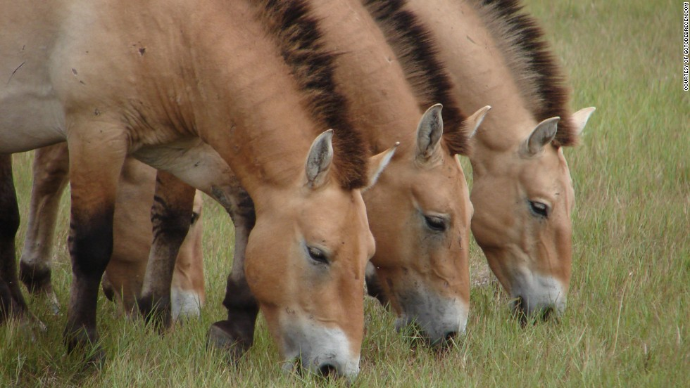 Herds of rare Przewalski's horses and wild asses are among species left to roam free on the national park's grasslands.