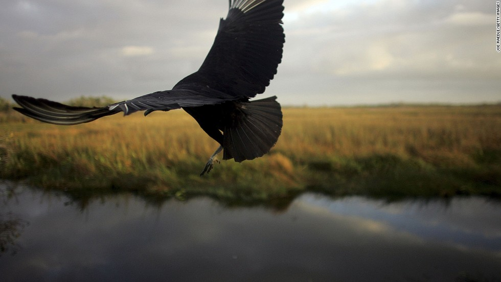A black vulture (pictured) may be your only paddling companion in Florida's Everglades.