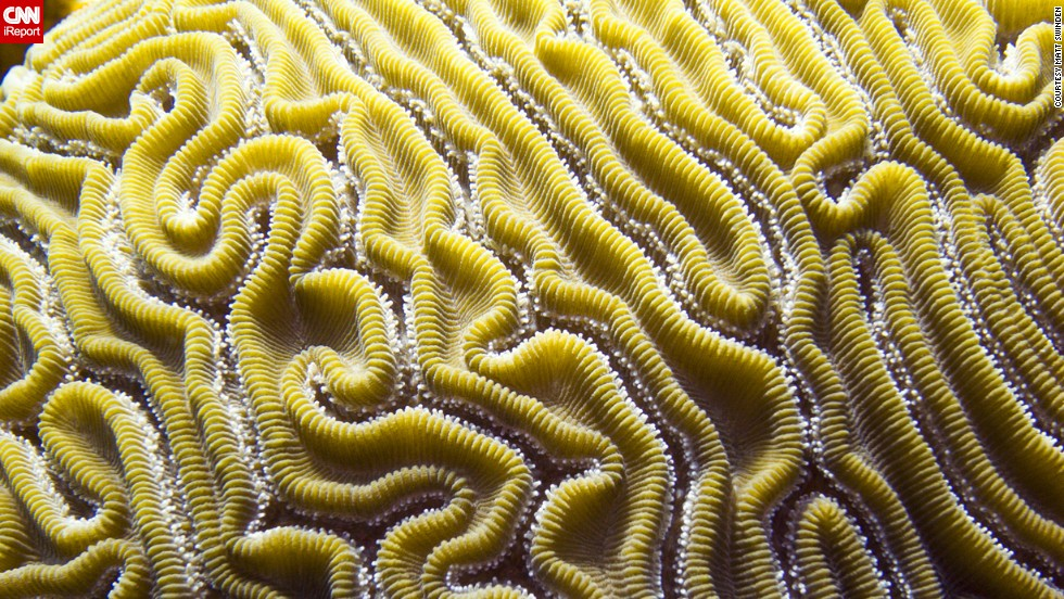 "Brains aren't just in your head. Professional photographer <a href=""http://ireport.cnn.com/docs/DOC-1140339"">Matt Swinden</a> snapped this macro shot of brain coral during a dive in Isla Mujeres, Mexico."