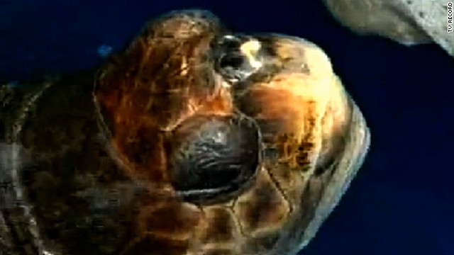 brazil world cup turtle prediction _00002120.jpg