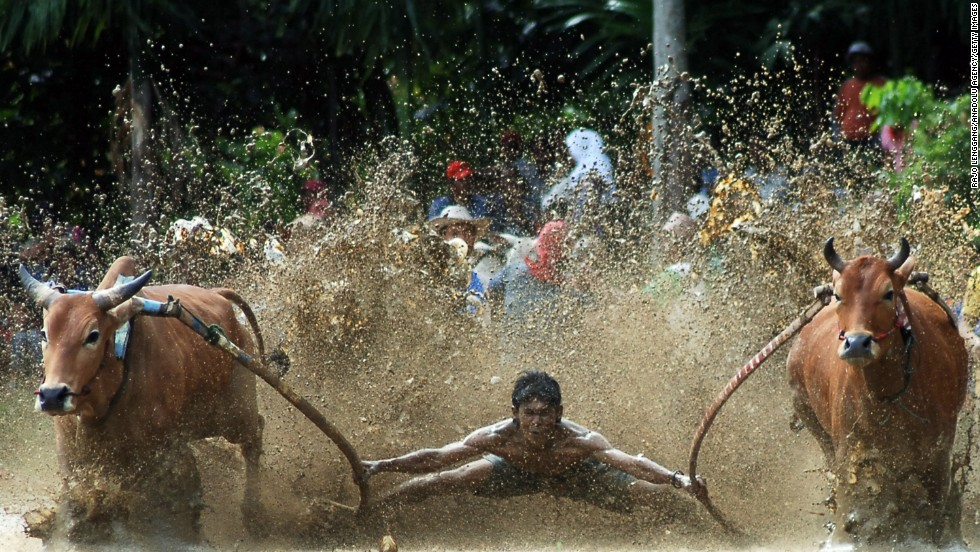 A jockey spurs two cows during the Pacu Jawi race on Saturday, June 14, in Tanah Datar, Indonesia. The traditional cow-racing event is held annually in muddy rice fields to celebrate the end of the harvest season. Jockeys grab the tails and skate across the mud barefoot, balancing on a wooden plank to show the strength of cows that are later auctioned to buyers.