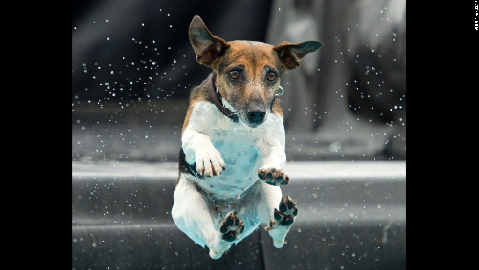 A Jack Russell terrier named Lucie jumps into the water during a dog diving competition held Saturday, June 14, in Erfurt, Germany.