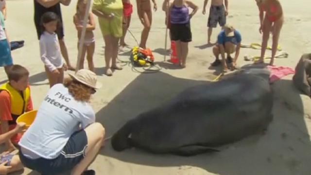 pkg manatee stranded on florida beach _00010208.jpg