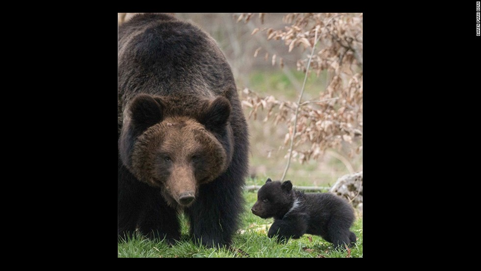 """Details of the fate of the baby brown bear, known only as Cub 4, came on the heels of outrage over the killing by Denmark's Copenhagen Zoo of a <a href=""""http://www.cnn.com/2014/02/09/world/europe/denmark-zoo-giraffe/index.html"""">young male giraffe named Marius</a> and<a href=""""http://www.cnn.com/2014/03/26/world/europe/copenhagen-zoo-lions/index.html""""> four lions</a>."""