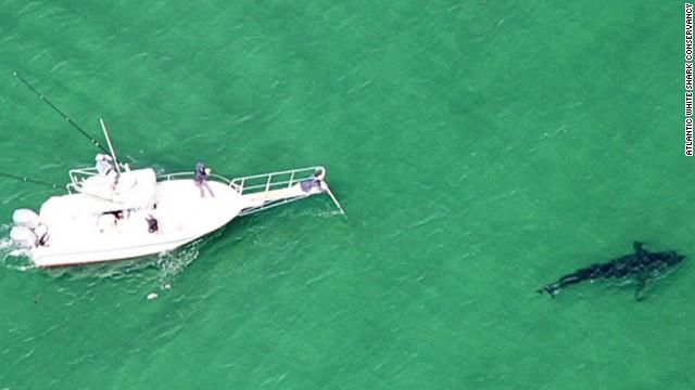 pkg great white sharks spotted northeast_00000225.jpg