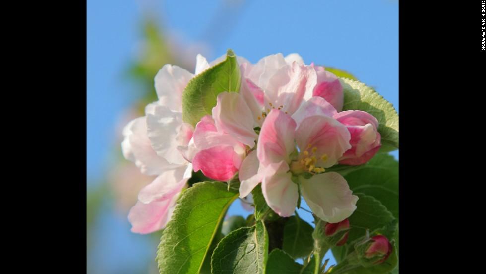 Arkansas: Apple Blossom