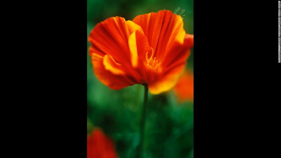 California: California Poppy