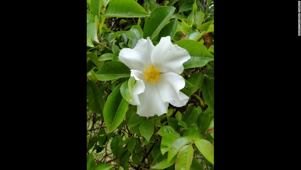 Georgia: Cherokee Rose