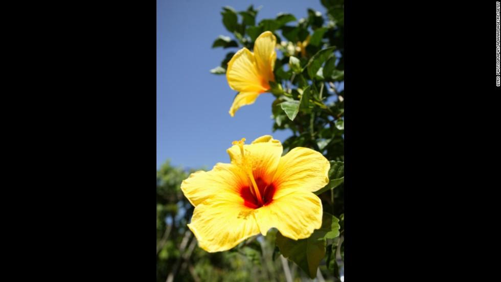Hawaii: Yellow Hibiscus