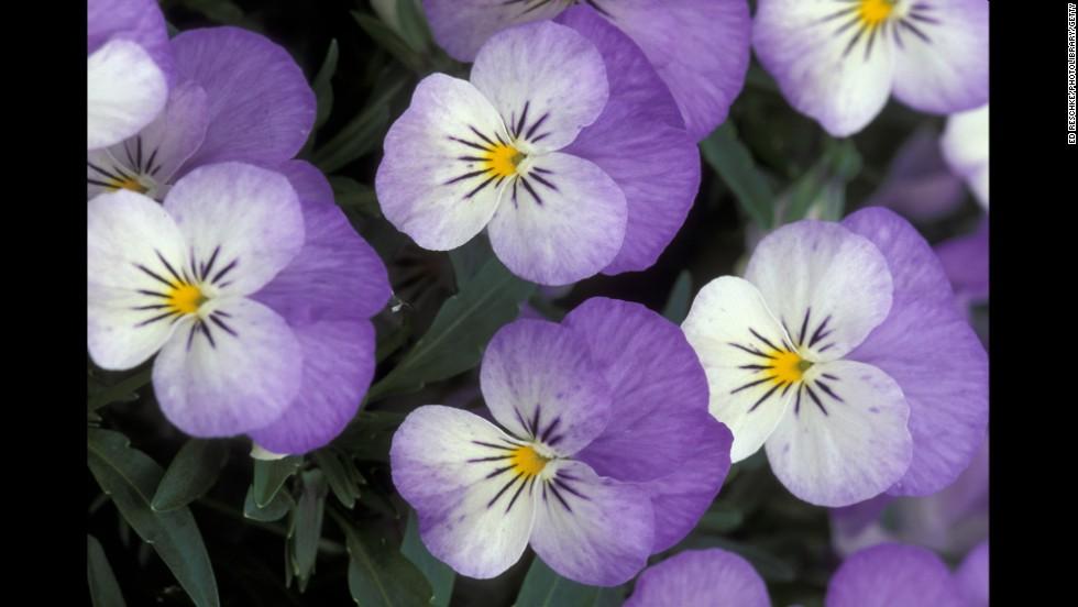 Illinois: Common Violet