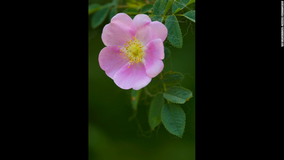 """Iowa: Wild Rose. To view the remaining 35 state flowers, <a href=""""http://www.thisoldhouse.com/toh/photos/0,,20817198_30157319,00.html"""" target=""""_blank"""">visit This Old House Magazine</a>."""