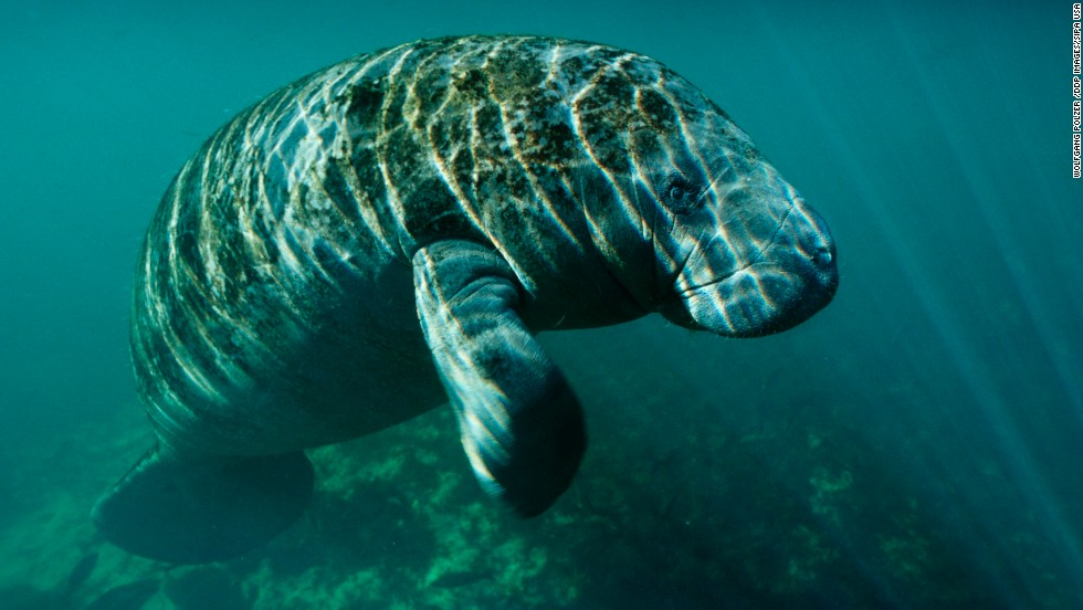 "The U.S. Fish and Wildlife Service announced Tuesday, July 1, that it will consider removing the manatee from the endangered species list and moving it to the less dire ""threatened"" category. The West Indian manatee, which includes the Florida manatee, has been on the endangered list since 1967."