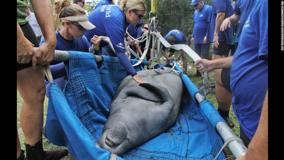 Lil' Joe, a wayward manatee, was rescued in September 2012 from the Little Econlockhatchee River in Orlando.