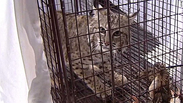 pkg fiesty bobcat released after limp _00012118.jpg