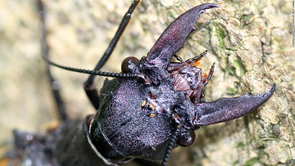 Villagers in the outskirts of Chengdu discovered the bugs under a streetlamp.