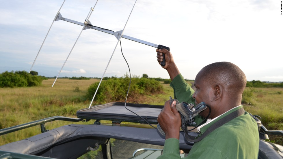 Researcher James Kalyewa raises a telemetry antenna as he tracks the whereabouts of collared lions in Uganda's Queen Elizabeth National Park.
