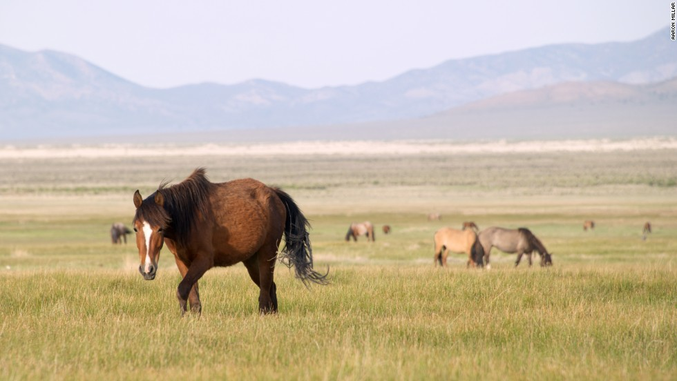 Federal protection laws aren't popular with many ranchers, who consider the horses a pest that threatens the environmental integrity of the range.