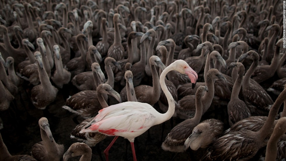 An adult flamingo stands with flamingo chicks in an enclosure before they are tagged Saturday, July 19, in Fuente de Piedra, Spain. The Fuente de Piedra Lagoon is one of the main breeding grounds for flamingos on the Iberian Peninsula, and hundreds of flamingo chicks are tagged to track the evolution of the species.