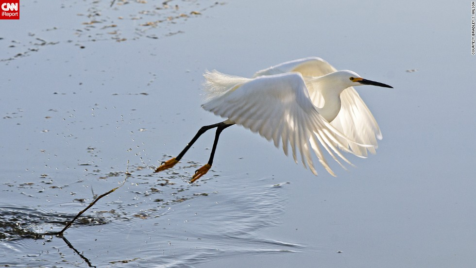 "<a href=""http://ireport.cnn.com/docs/DOC-1155194"">Bradley S. Wilson</a> was walking with his camera in St. Louis, Missouri's Forest Park one spring morning when he spotted this snowy egret, one of North America's most familiar herons. ""The major difficulty here was timing. If I missed the moment, I would end up with tail feathers and a splash."""