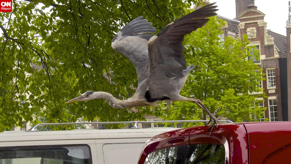"A grey heron hitches a ride in Amsterdam, Netherlands. The large birds are ever-present in the city, having become so accustomed to humans ""that they will walk right up to you on the street and steal whatever food you might be carrying in your hands,"" said <a href=""http://ireport.cnn.com/docs/DOC-1156841 "">Lulis Leal</a>."