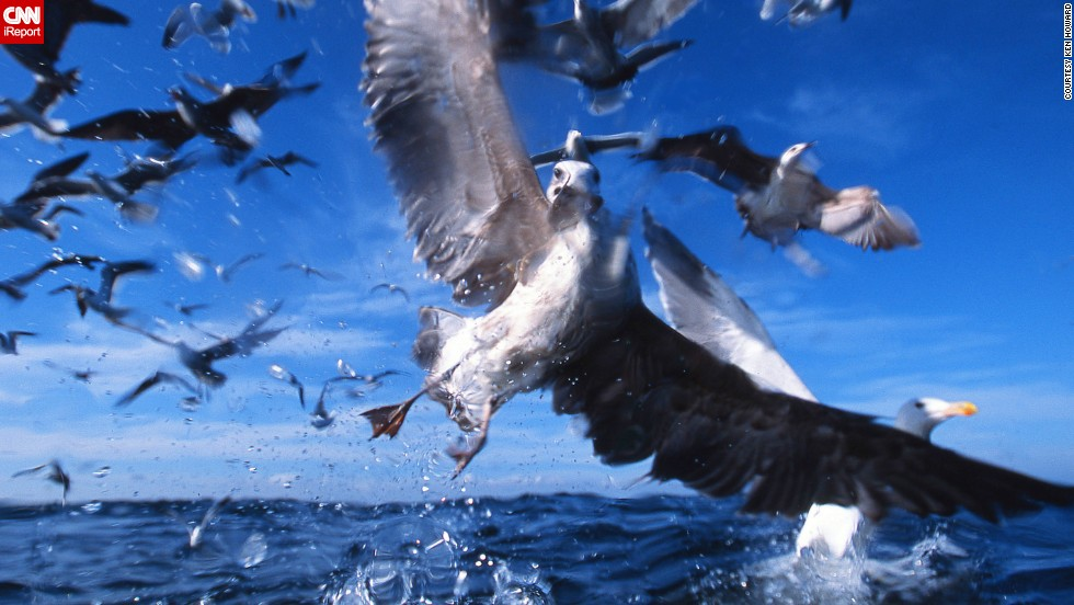 "Photographer <a href=""http://ireport.cnn.com/docs/DOC-1155849"">Ken Howard</a> was in the South African fishing town of Gansbaai to photograph sharks when he captured this image of kelp gulls, common coastal residents in the Southern Hemisphere."