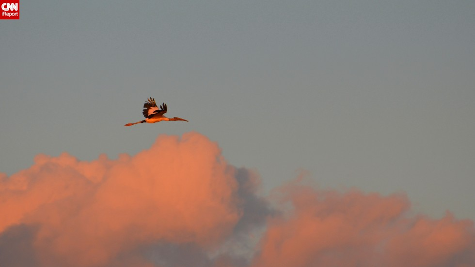 "A wood stork flies home to roost on Pawleys Island, South Carolina. The bird is <a href=""http://ecos.fws.gov/speciesProfile/profile/speciesProfile.action?spcode=B06O"" target=""_blank"">threatened </a>in the U.S. ""You can't help but marvel at their size and the stark black feathers that create a distinct outline on their wings,"" photographer <a href=""http://ireport.cnn.com/docs/DOC-1154888"">Penelope Penn said</a>."