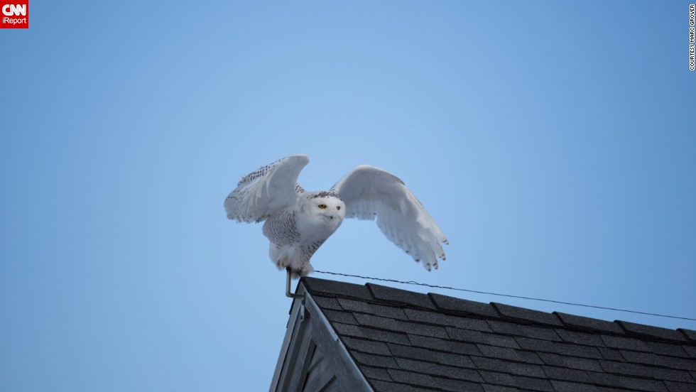 "<a href=""http://ireport.cnn.com/docs/DOC-1155179"">Marc Grover</a> was out looking for snowy owls at Biddeford Pool, Maine, when he spotted this one perched on a roof."