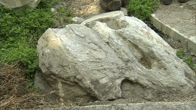 Rare whale fossil recovered