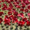 London Ceramic Poppy8