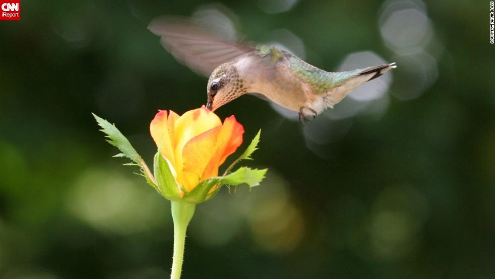 "<a href=""http://ireport.cnn.com/docs/DOC-1156169"">David Pass</a> put a few drops of home-brewed nectar in a flower pot to entice the ruby-throated hummingbirds to his deck in Kennesaw, Georgia. Then he sat there for hours a day until the tiny birds got used to him, ""each day inching my chair closer to the rose until I got this shot."""