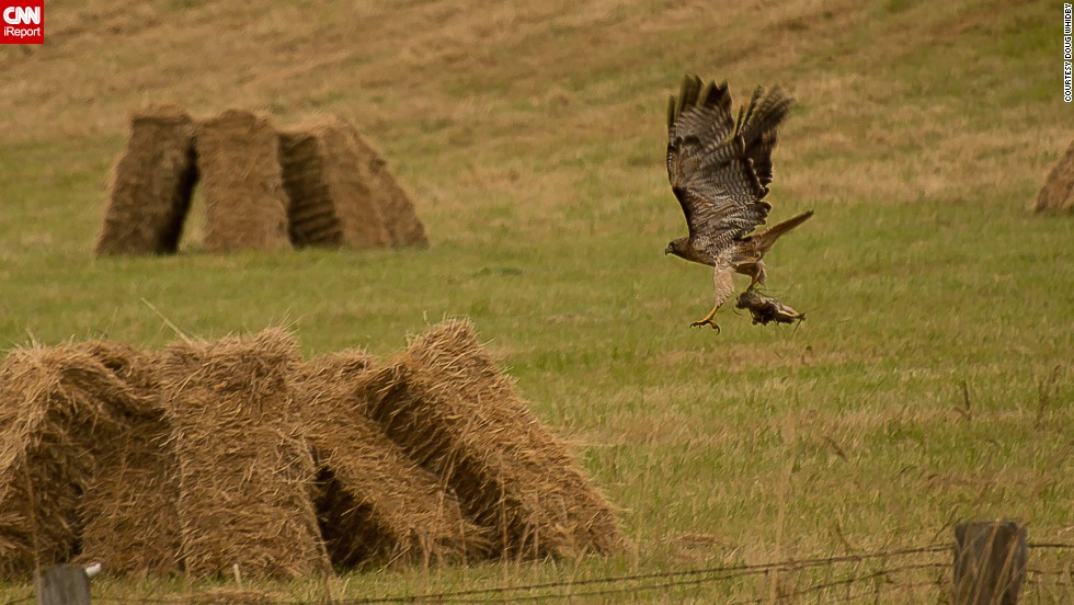 "A red-tailed hawk hunts rodents in a freshly cut hay field on Whidbey Island in Washington. ""Birds are the perfect photographic subjects,"" said <a href=""http://ireport.cnn.com/docs/DOC-1155218"">Doug Whidby</a>. ""Their ability to fly is always a point of curiosity, and the details in their markings are stunning if you can capture them."""