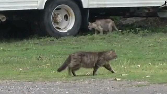 pkg cats invade Island cause_00002521.jpg