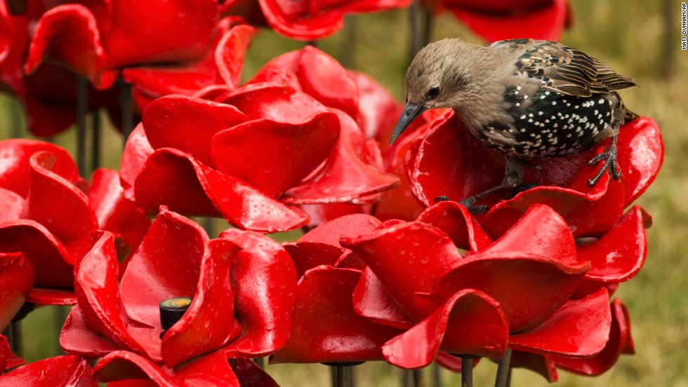 A bird stands on one of the ceramic poppies on August 5. Poppies have long been used as a symbol to remember those killed in conflict, particularly during the two world wars that consumed Europe in the 20th century.