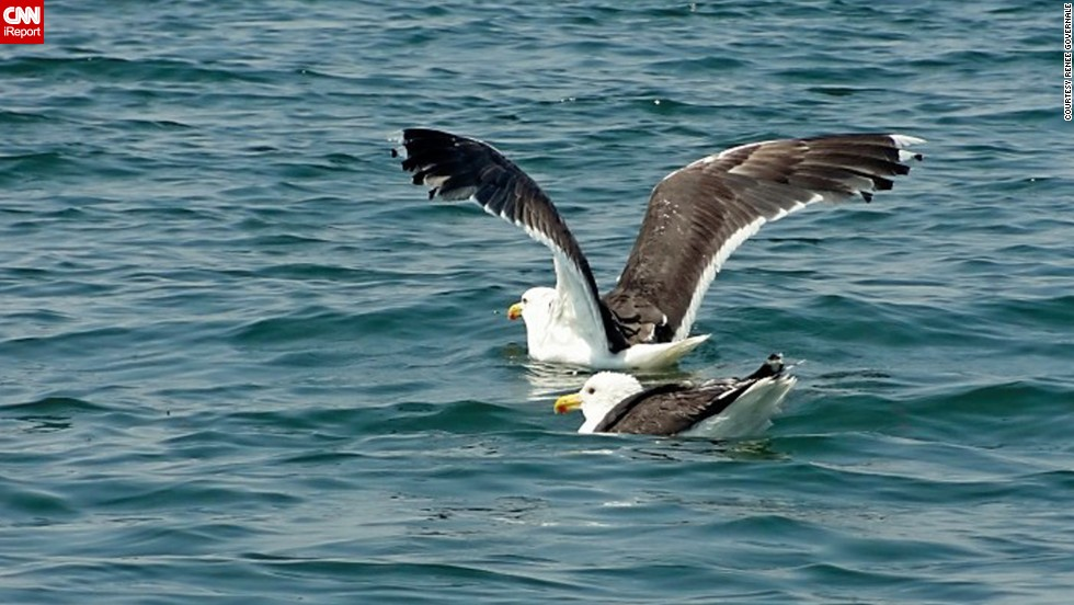 "A <a href=""http://ireport.cnn.com/docs/DOC-1155354  "">great black-backed gull </a>joins his buddy in New York's Long Island Sound to go for a swim, or maybe, to fish."