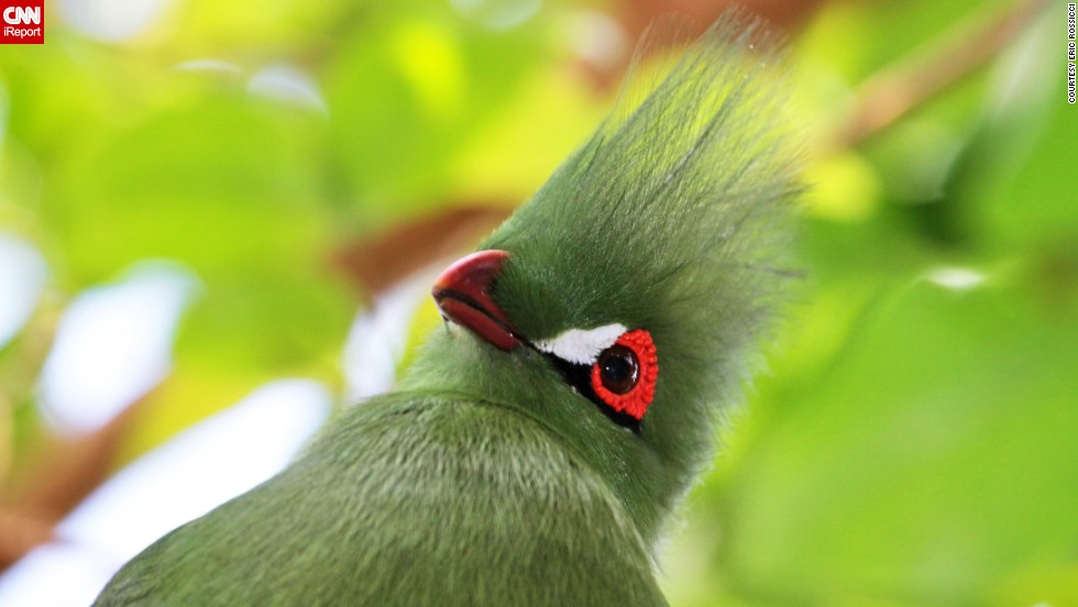 "The birds of the Bloedel Conservatory in Vancouver, British Columbia, include the Guinea turaco, ""a secretive and gorgeous"" creature that <a href=""http://ireport.cnn.com/docs/DOC-964399"">Eric Rossicci</a> felt lucky to photograph."