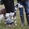 equestrian etiquette dogs lead